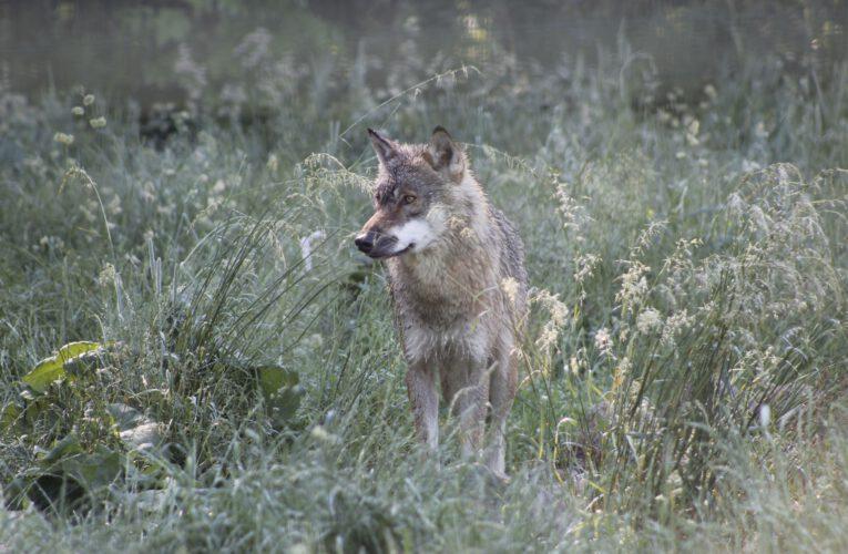 Die Lieblingsspeise der Wölfe